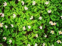 Vårgräsplan för vita blommor Royaltyfria Foton