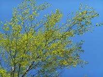 Vårgräsplan lämnar björkar och blå himmel Royaltyfria Foton