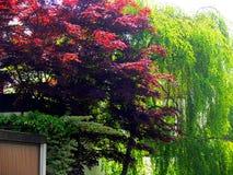 Vårintryck med att gråta skrubbsåret och trädet med mörker - röda sidor royaltyfri foto