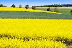 vårjordbruk - guling våldtar fältet nära Sobotka, det bohemiska paradislandskapet, Tjeckien Royaltyfri Fotografi