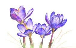 Vårkrokus blommar på vit bakgrund stock illustrationer