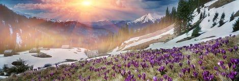 Vårkrokusar i Carpathiansna Arkivfoto