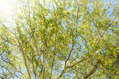 Vårlandskap av träd mot den blåa himlen i en solig härlig dag arkivfoto