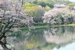 Vårlandskap av vita Cherry Blossoms runt om dammvatten i Japan Arkivfoto