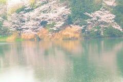 Vårlandskap av vita Cherry Blossoms runt om dammvatten i Japan Royaltyfria Bilder