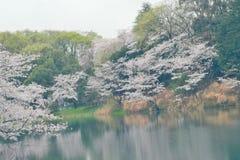Vårlandskap av vita Cherry Blossoms runt om dammvatten i Japan Arkivfoton