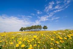Vårlandskap med ett fält av gula blommor royaltyfria bilder