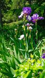 Vårlandskap med irins i soligt väder royaltyfri fotografi