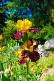 Vårlandskap med irins i soligt väder royaltyfri foto