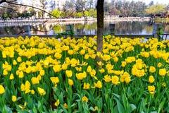 Vårlandskap med tulpan Royaltyfri Fotografi