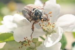 VårMaj skalbagge och en blommande solig trädgård arkivfoton
