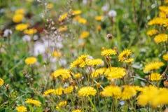 Vårmaskrosogräs på fält Royaltyfria Bilder