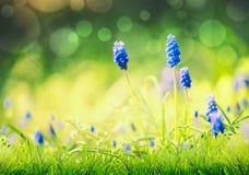 Vårnatur med lösa blåa hyacintblommor i gräs på suddig naturbakgrund med bokeh r royaltyfri foto