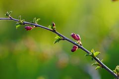 Vårnaturbakgrund med att blomma mandelträdet, blomning av trädet som tecknet av vårtid, selektiv fokus fotografering för bildbyråer