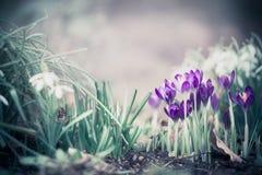 Vårnaturbakgrund med nätta krokusar arkivfoto