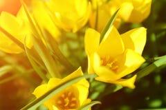 Vårpåskbakgrund med härliga gula tulpan Gula Herbera Royaltyfria Bilder