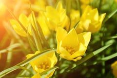Vårpåskbakgrund med härliga gula tulpan Gula Herbera Arkivfoton