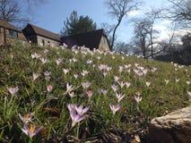 Vårpåskliljor på en slutta gräsmatta fotografering för bildbyråer