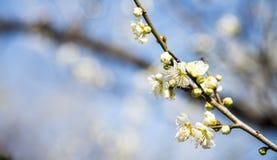 Vårplommonblomningen förgrena sig den vita blomman Arkivbilder