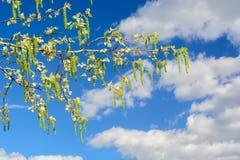 Vårpoppeln förgrena sig med sidor och inflorescences mot bakgrunden av blå himmel och fördunklar Royaltyfria Bilder