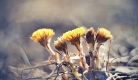 Vårprimula - blommor av tussilagotussilagofarfaraen Royaltyfri Foto
