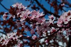 Vårrosa färgblommor och himmel Arkivbilder