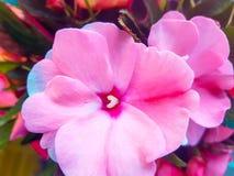 Vårrosa färger Arkivfoto
