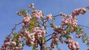 Vårrosa färger Cherry Blooming Royaltyfri Fotografi