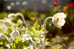 Vårs anemoner i trädgården Royaltyfri Fotografi