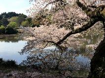 Vårsakura blom i Tokyo arkivbilder