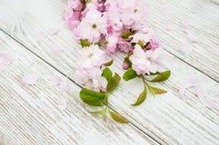 Vårsakura blomning Royaltyfria Foton