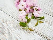 Vårsakura blomning Fotografering för Bildbyråer