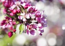 Vårsakura rosa färger blommar på abstrakt naturbakgrund Arkivbild
