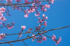 Vårsakura rosa färger blomstrar i Chiangmai, Thailand Royaltyfri Bild