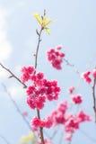 Vårsakura rosa färger blomstrar i Chiangmai, Thailand Arkivbilder