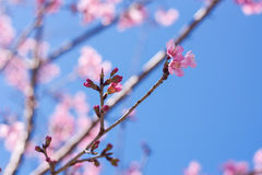 Vårsakura rosa färger blomstrar i Chiangmai, Thailand Royaltyfri Fotografi