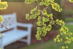 Vårsikt i en trädgård med en vit bänk under ett blommande almträd arkivfoton