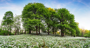 Vårskog med att blomma vita blommor wild vitlök Arkivfoto