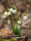 Vårsnöflinga Arkivbilder