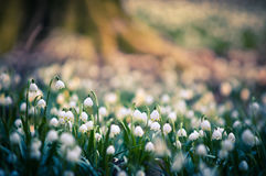 Vårsnöflingablommor blomstrar och att blomma i naturlig miljö av skogen, trän Vårbakgrund med stark bokeh royaltyfri fotografi