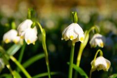 Vårsnöflingan blommar den Leucojum vernumen som blommar i solnedgång Royaltyfria Foton
