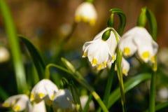 Vårsnöflingan blommar den Leucojum vernumen som blommar i solnedgång Arkivfoton