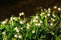 Vårsnöflingan blommar den Leucojum vernumen som blommar i solnedgång Arkivbild