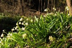 Vårsnöflingan blommar den Leucojum vernumen som blommar i solnedgång Royaltyfri Fotografi