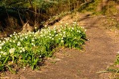 Vårsnöflingan blommar den Leucojum vernumen som blommar i solnedgång Royaltyfri Bild