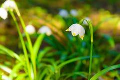 Vårsnöflingan blommar den Leucojum vernumen som blommar i solnedgång Royaltyfria Bilder