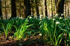 Vårsnöflingan blommar den Leucojum vernumen som blommar i solnedgång Fotografering för Bildbyråer