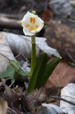 Vårsnöflingor Royaltyfri Fotografi