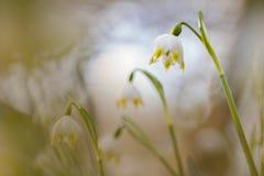 Vårsnöflingor som fotograferas med en inversed projektorlins royaltyfria foton