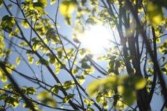 Vårsol som skiner till och med unga sidor av lindträdet Royaltyfri Foto